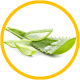 Aloes właściwości lecznicze